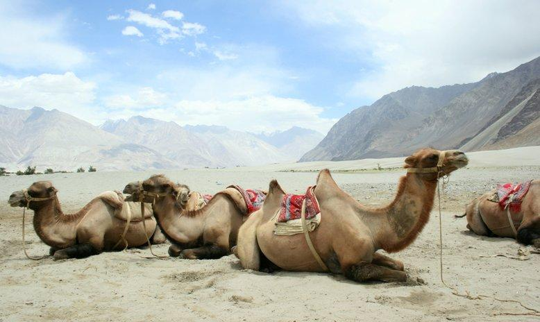 View of the Nubra valley and the Camels