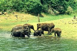 Elephants at the Periyar wildlife Sanctuary