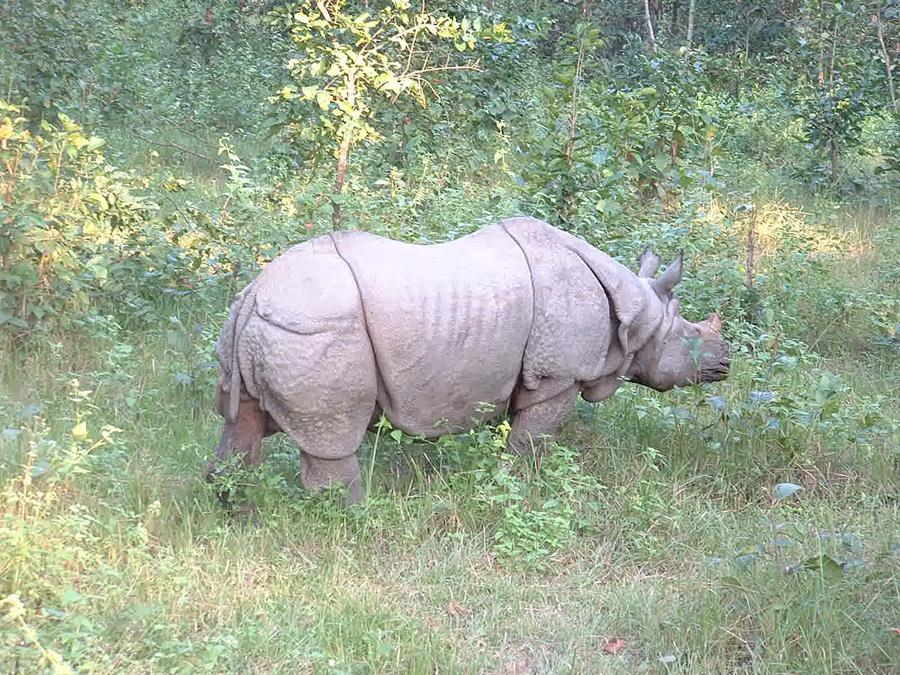 Rhinoceros at Chitwan National Park